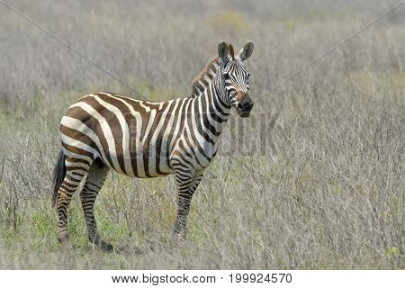 Plain's zebra (Equus quagga) standing on the savanna looking into the camera Serengeti national park Tanzania.