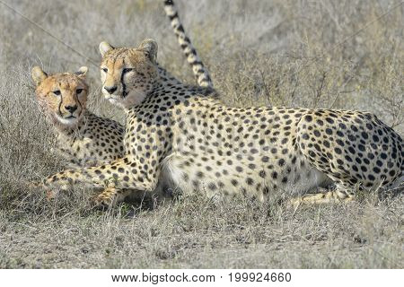 Two Cheetah (Acinonyx jubatus) on savanna cleaning each other after eating prey Serengeti national park Tanzania.