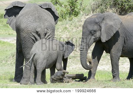 African Elephant (Loxodonta africana) family standing together with a small baby lying in between at a waterhole Serengeti national park Tanzania.
