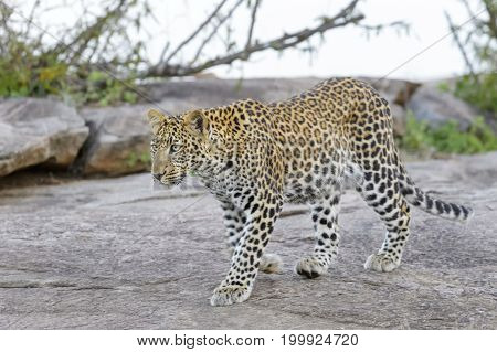 Leopard (Panthera pardus) walking on a rock Serengeti national park Tanzania.