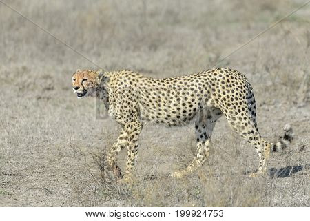 Cheetah (Acinonyx jubatus) walking on savanna Serengeti national park Tanzania.