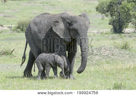 African Elephant (Loxodonta africana) walking on the savanna together with a small baby Serengeti national park Tanzania.