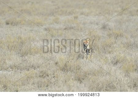 Cheetah (Acinonyx jubatus) walking on savanna towards the camera Serengeti national park Tanzania.