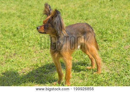 Papillon Dog. Space under the text. 2018 year of the dog in the eastern calendar Concept: parodist dogs, dog friend of man, true friends, rescuers.