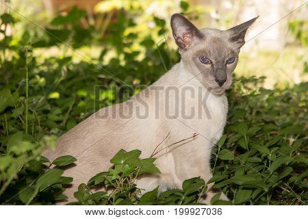 Oriental Blue-point Siamese Kitten Playing In House Home Garden