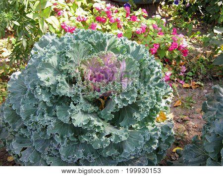 Purple Cabbage Flower Ornamental decorative cabbage flower Brassica or kale flower in the autumn garden