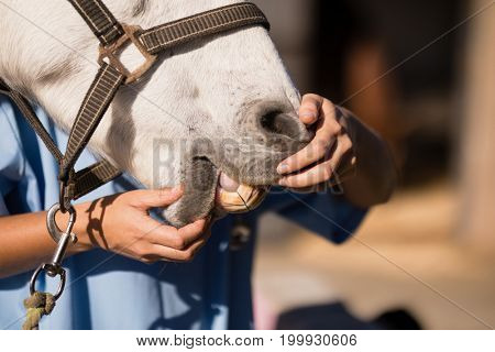 Midsection of female vet examining horse mouth at barn