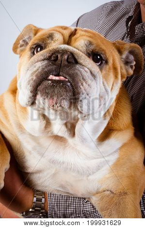 a Funny bulldog isolated on arms man