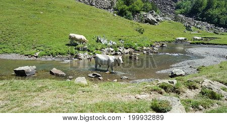 Free Range Cows Grazing In The High Hills To The Mountain River