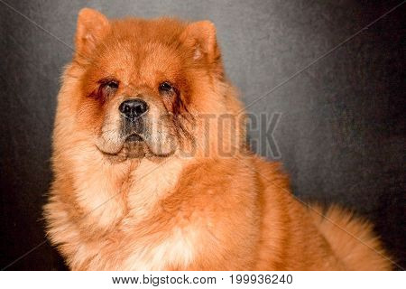 Chines Chow Chow Dog Isolated On A Gray Background