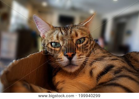 A Bengal cat looking quizzical and mildly annoyed