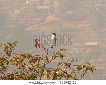 Black-headed shrike babbler (Pteruthius rufiventer) in Nalang, Nepal