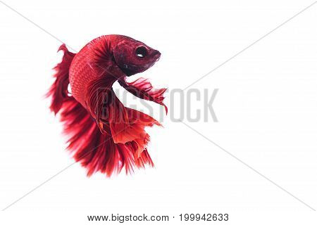 Capture the moving moment of red siamese fighting fish on white background. Dumbo betta fish