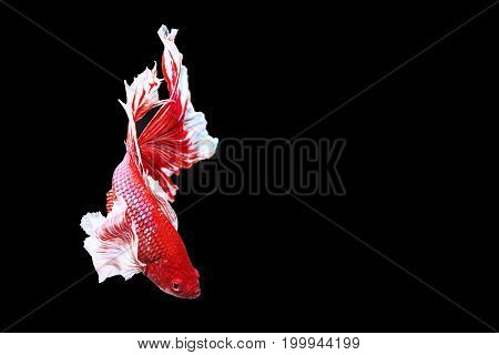 Capture the moving moment of red siamese fighting fish on black background. Dumbo betta fish