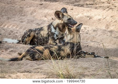 Two African Wild Dogs Laying In The Sand.