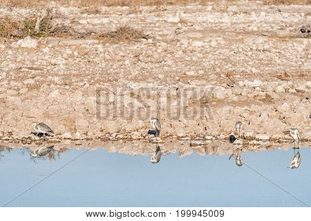 Four grey herons (Ardea cinerea) with their reflections visible in a waterhole in Northern Namibia