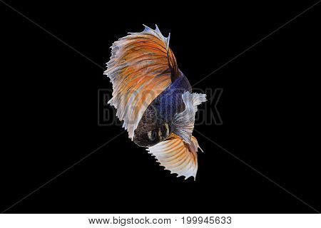 Capture the moving moment of blue Orange siamese fighting fish on black background. Dumbo betta fish