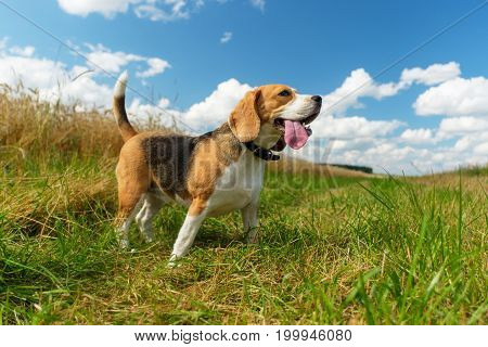 Beagle dog on a walk in a field on a background of white thick clouds