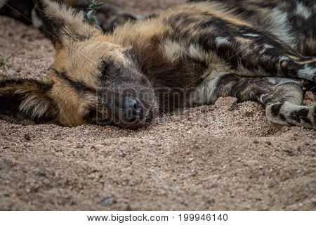 An African Wild Dog Sleeping In The Sand.