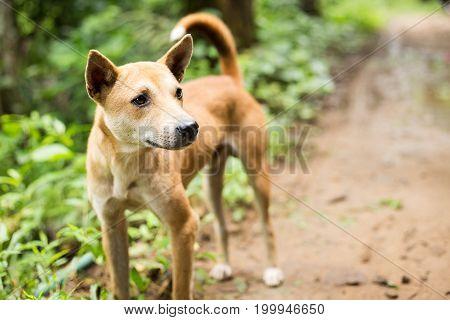 Brown Curious Dog