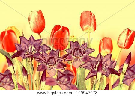 pink yellow tulips and blue irises. Floral background.