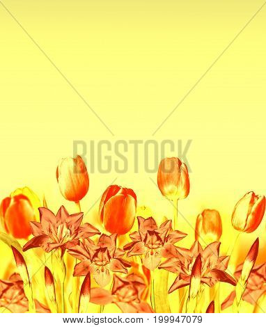 Floral background of spring flowers tulips and irises.