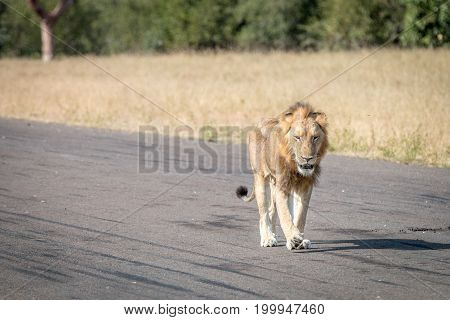 A Lion Walking On The Airstrip.