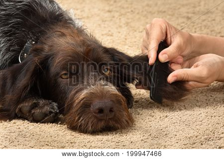hands of woman combing fur of dog closeup