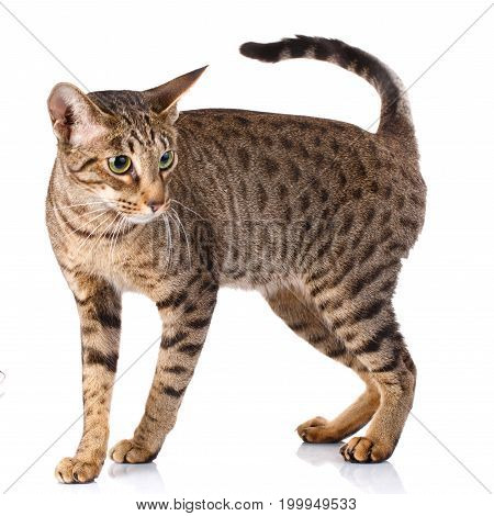 ocicat male cat on a white background