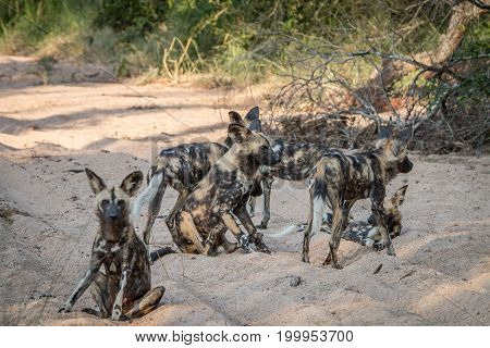 A Pack Of African Wild Dog Playing.
