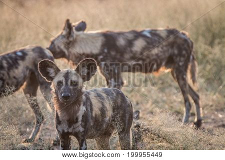An African Wild Dog Staring At The Camera.