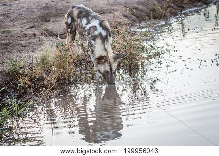 An African Wild Dog Drinking Water.