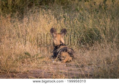 An African Wild Dog Resting In The Grass.