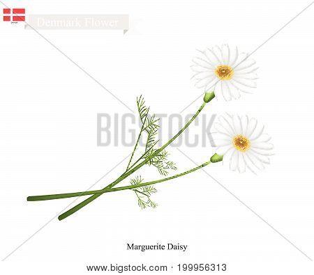 Denmark Flower, Illustration of Marguerite Daisy. The National Flower of Denmark.