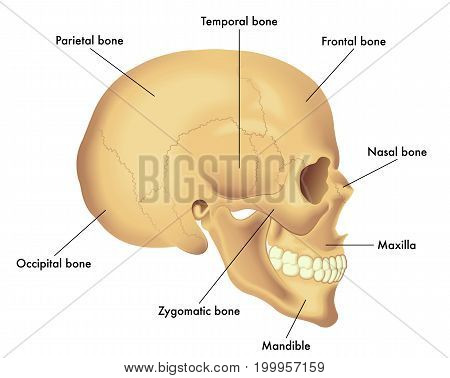 vector medical illustration of basic skull anatomy