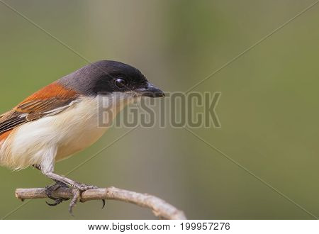 Red-backed shrike lanius collurio bird on a branch