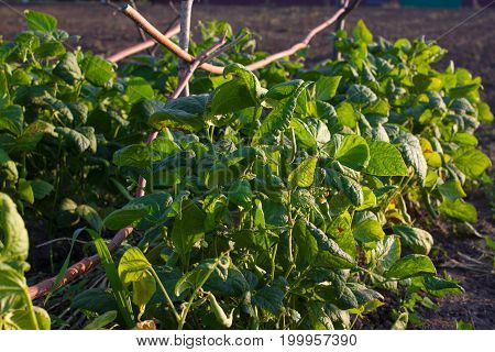 Group of cultivated green kidney bean field. Soy sprouts.