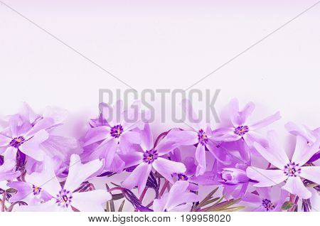 lila Phlox flowers background close-up macro. Spring summer border template floral background. greeting and celebration card. poster