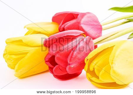 Pink nad yelow tulip flowers on white background