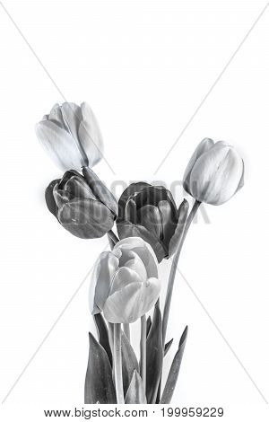 black and white tulip flowers on white background