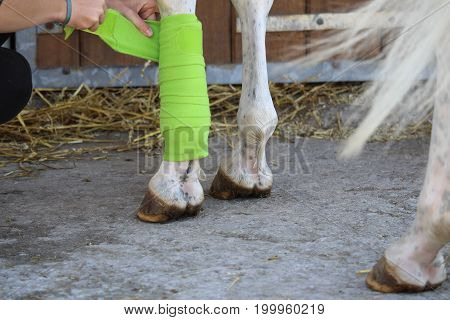 Preparation and placement of a green bandage on the anterior leg of a white horse