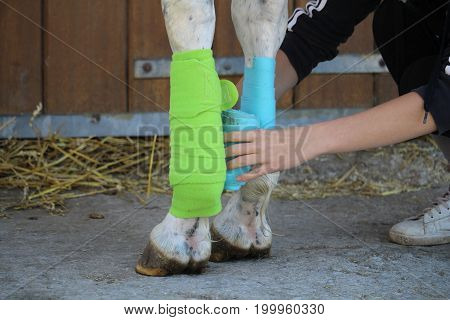 Preparation and placement of two bandages of green and blue colors on the anterior legs of the white horse