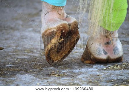 The hooves of the white horse and bandages on the hind legs