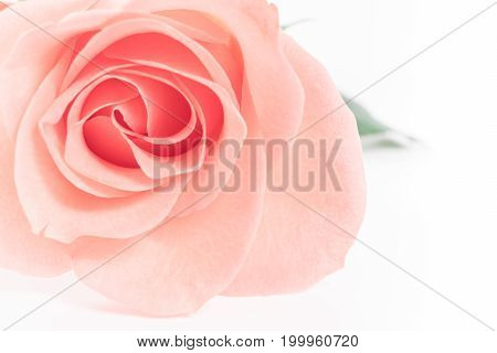 Pink Rose flowers on white background. Rosaceae.Postcard, cover, card