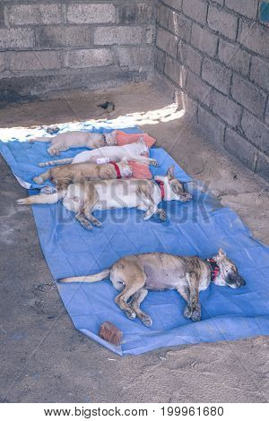 Dogs Laying Under Anesthesia In Veterinarian Clinic Outdoors In Asia, Bali Island, Indonesia.