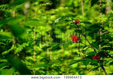 Red berries in the forest in focus