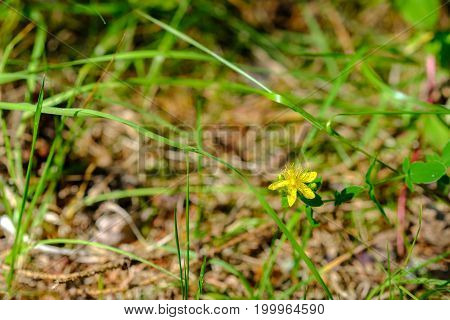 Small yellow flower amongst grass straws on the ground