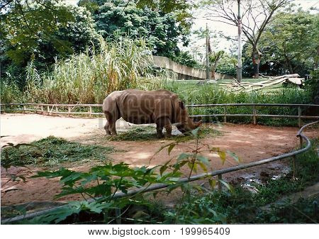 A black rhinoceros (Diceros bicornis) stands in an exhibit at the Singapore Zoo.