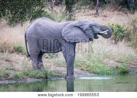 An Elephant Drinking From The Waterhole.