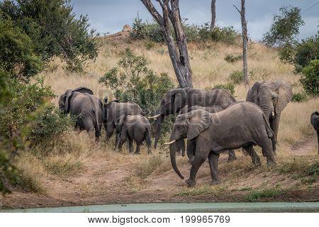 A Herd Of Elephants Walking In The Grass.